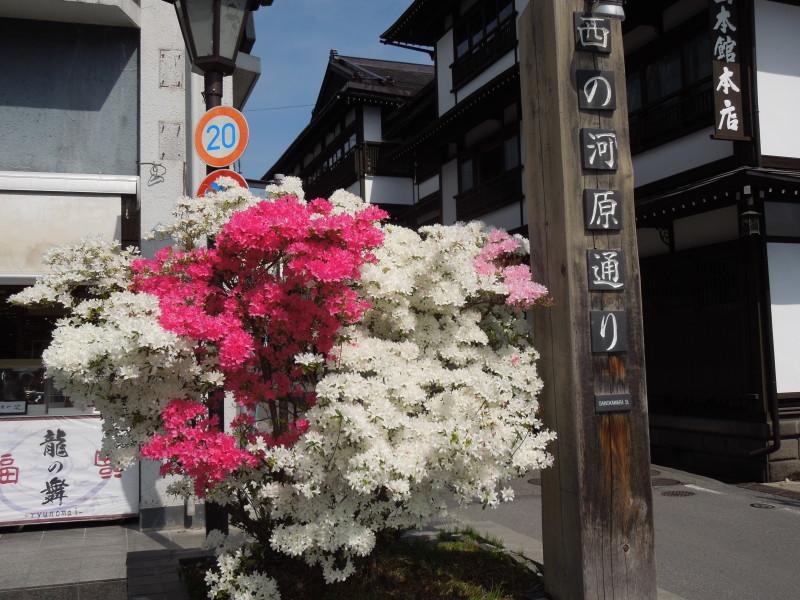 西河原通りの傍らに咲くツツジ