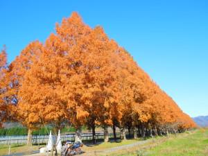 メタセコイア並木の紅葉(H.27.12.9撮影)